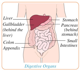 diagram of digestive organs
