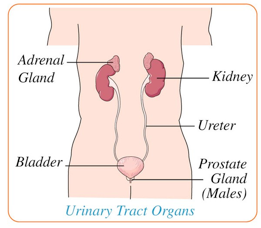 diagram of digestive organs diagram of urinary tract organs